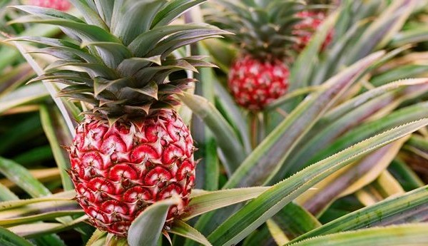 What are the health benefits of pineapple